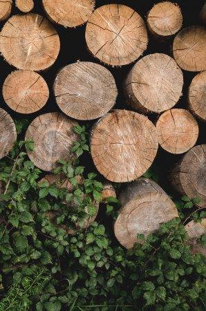 Проблема вирубки дерев в заповіднику Ґорґани